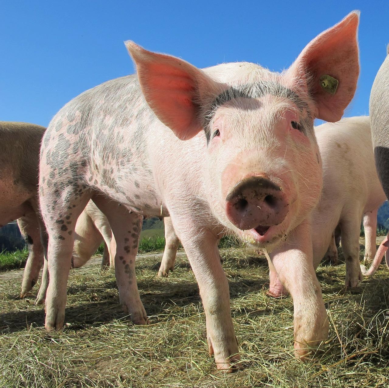 Селекція в тваринництві. Свинарство для України